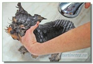 Мытье собачки с шампунем масла чайного дерева1