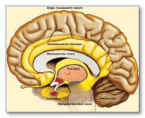 Лютеинизирующий и фолликулостимулирующий гормоны синтезируются в гипофизе