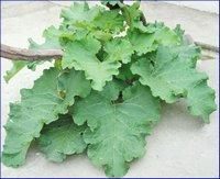 Лечение листьями лопуха