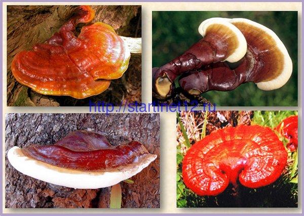 Разновидности грибов Рейши