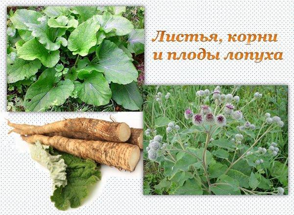 Корни, листья и плоды репейника