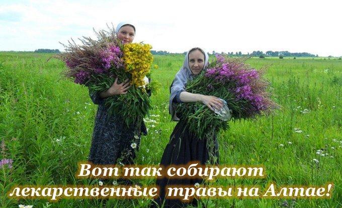 Сбор лекарственных трав на Алтае