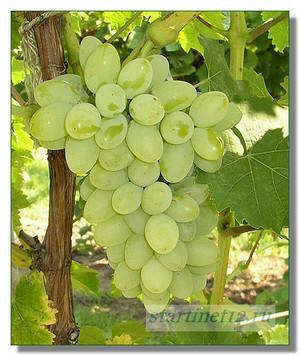Гроздь светлого винограда.