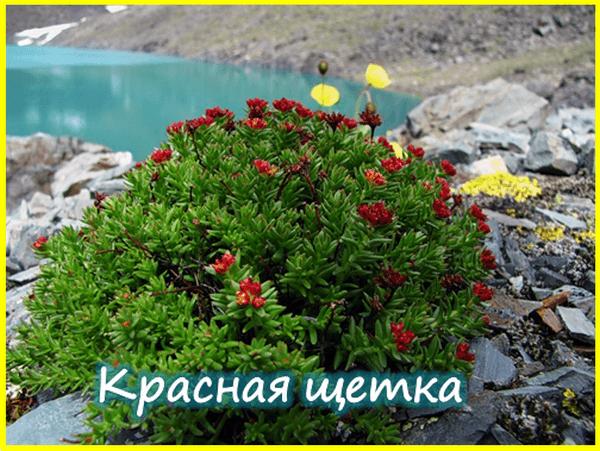 Горный Алтай - красная щетка