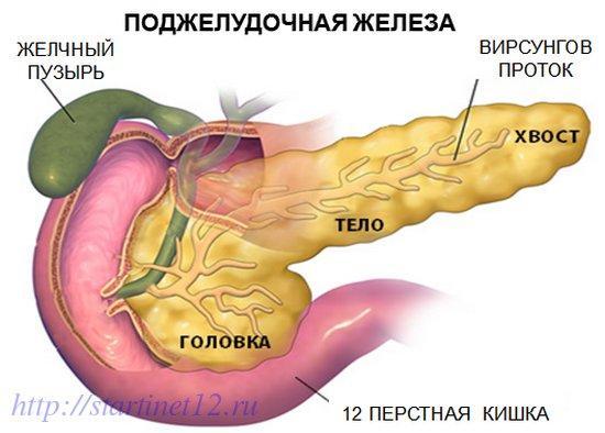 Расположение поджелудочной железы в кишечнике