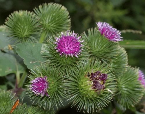 корень лопуха от аллергии отзывы