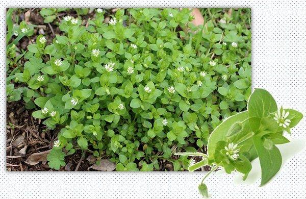 Лекарственная трава мокрица