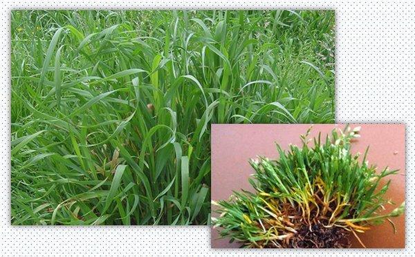 Лекарственная трава пырей