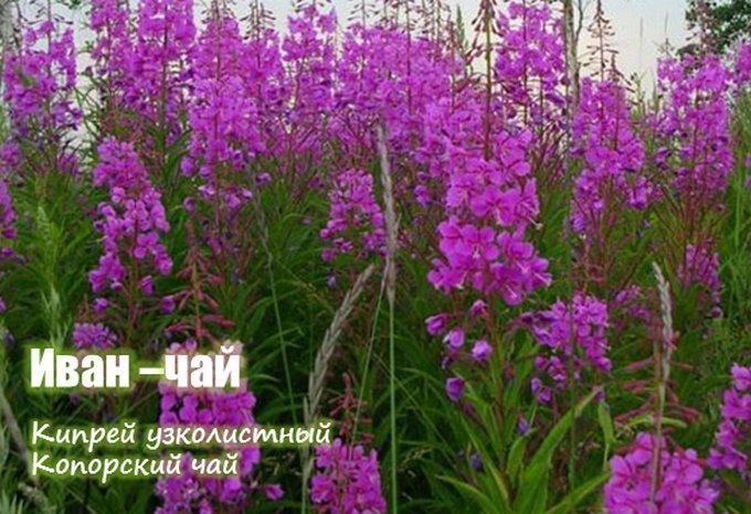 Польза цветов иван чая для организма человека