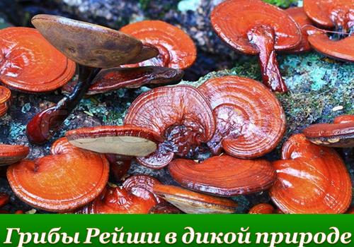 Что такое грибы рейши