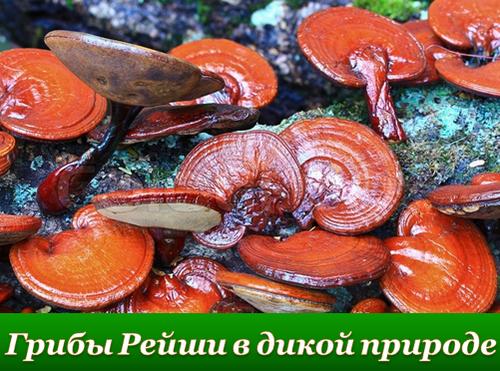 Что такое гриб Рейши