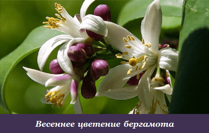 Весеннее цветение бергамота