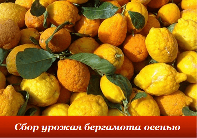 Урожай бергамота
