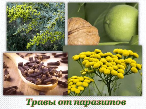 Тройчатка от паразитов и грецкий орех