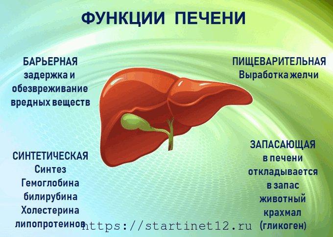 Функции печени у человека: синтетическая, запасающая, пищеварительная, обезвреживающая