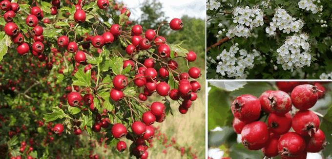 Цветы и ягоды боярышника