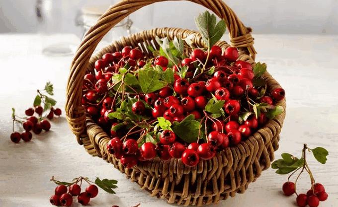 Урожай плодов боярышника